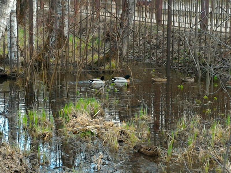 Утки пришли с пруда на болотце у колокольни